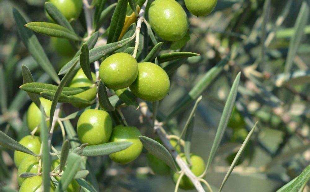 azione-ipocolesterolemizzante-gemmoderivato-di-olivo